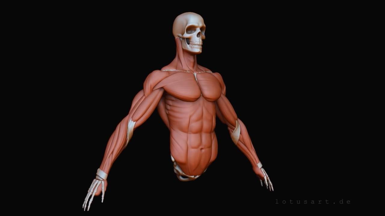 Arm-muskulatur-anatomie Medizinische 3D Visualisierung