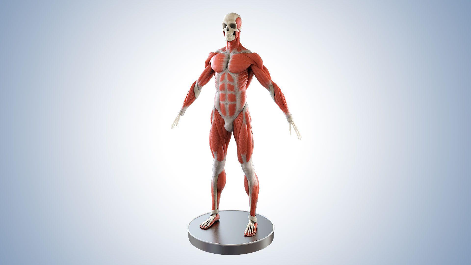 Anatomie-Medizinische-Visualisierung