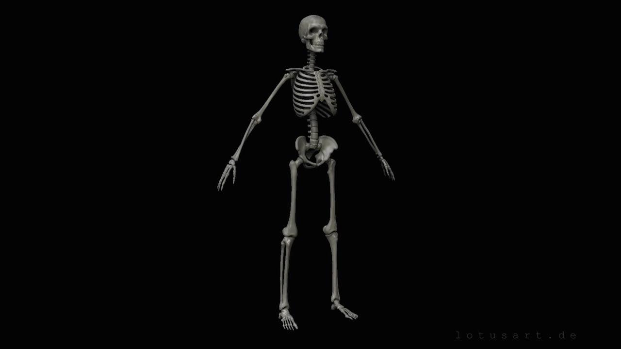 menschliches-skelett-anatomie Medizinische 3D Visualisierung