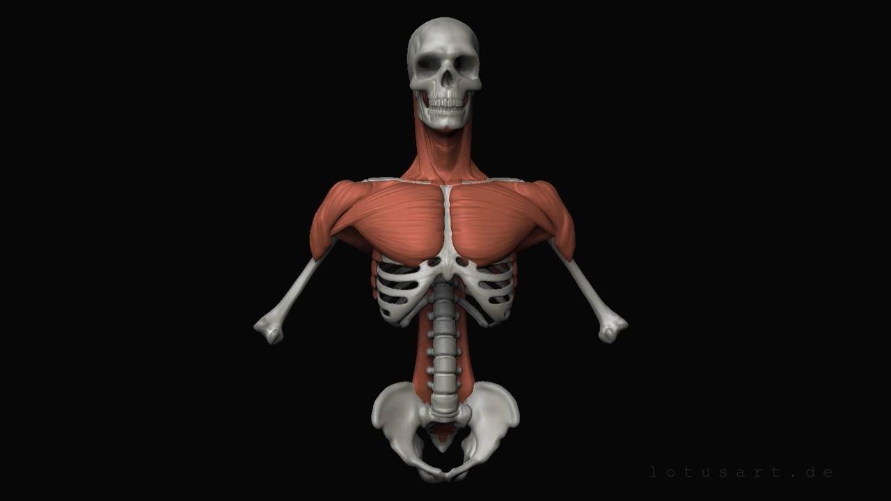 schulter-anatomie-muskel Medizinische 3D Visualisierung