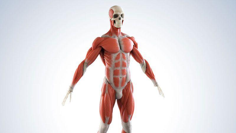 anatomie-character-medizin-3D visualization